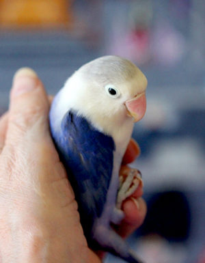 Blue & White Love Bird