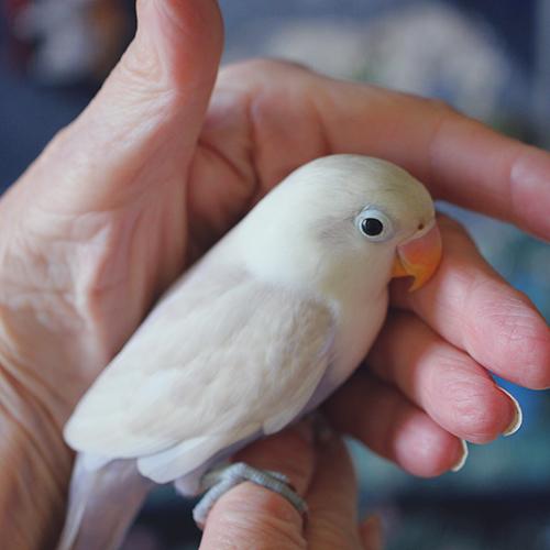 Lavender White Love Bird