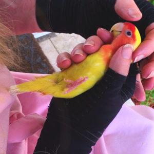 Lutino Love Bird