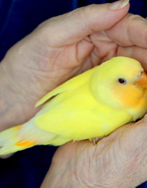 Lutino Peach Face Love Bird