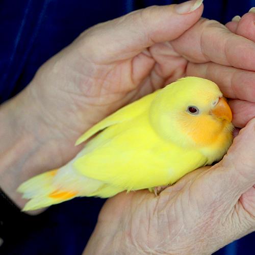 Lutino Peach Face Love Bird