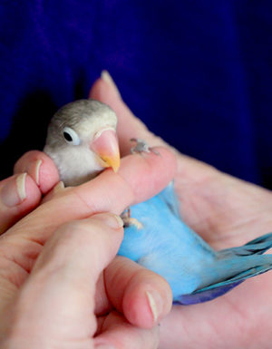 Turq Grey Love Bird