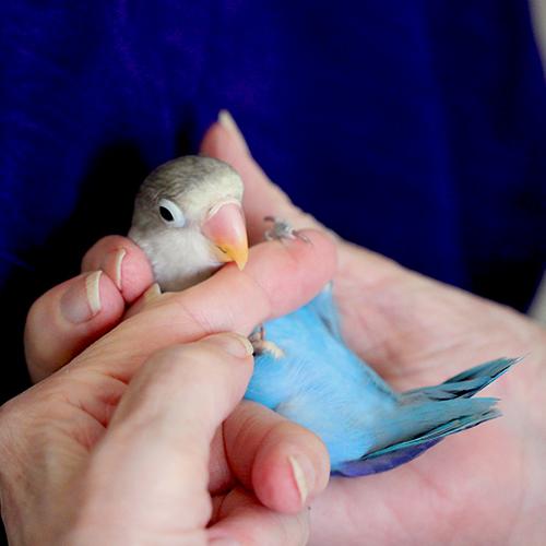 Turq Grey Love Bird