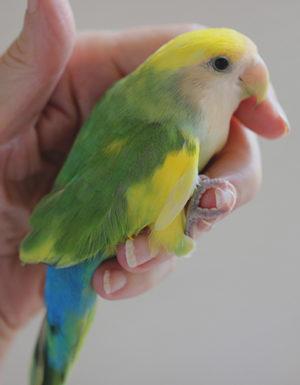 Greeen Pied Peach Face Love Bird