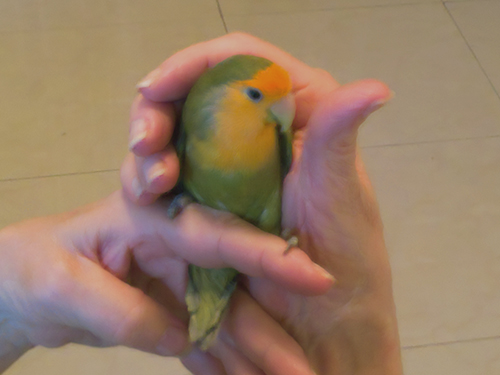 Green Love Bird