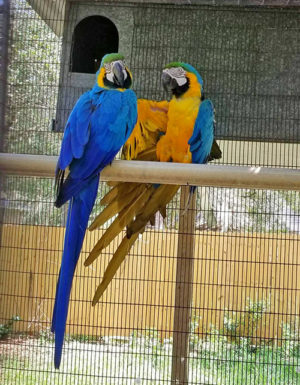 Blue&Gold Macaw1
