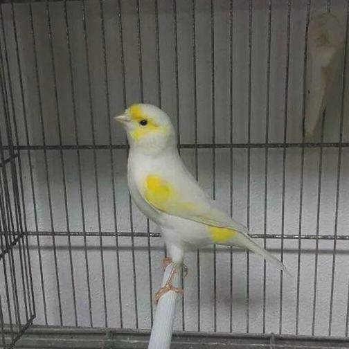 YellowMosaic2