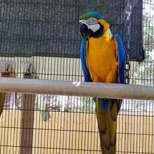 Single BlueGoldMacaw