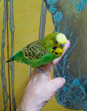 Tame English Budgie