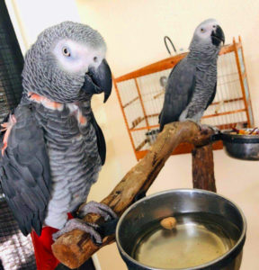 Red Factor African Grey